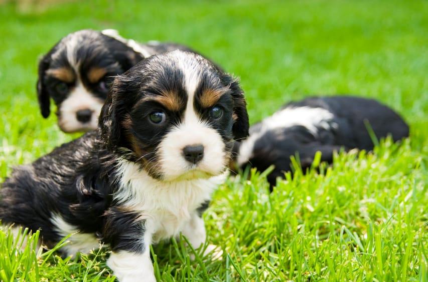 multiple puppies