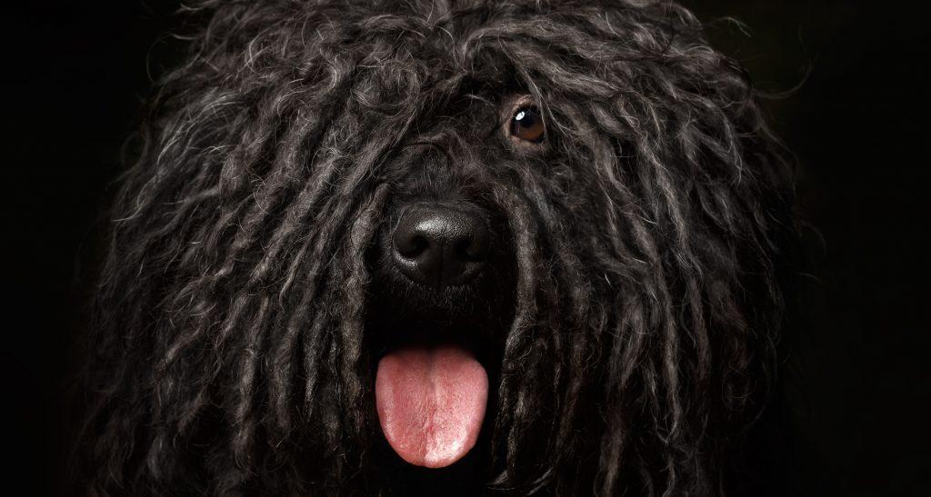 Black dog Puli