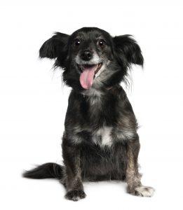 mixed breed black dog