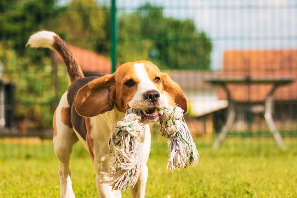dog running with tug